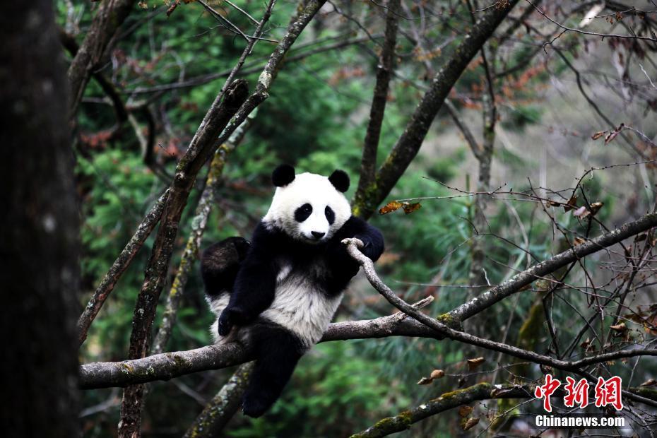 """大熊猫""""八喜""""、""""映雪""""即将回归大自然"""