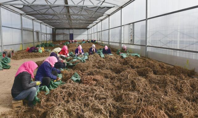 互助县中药材种植面积达4.6万亩