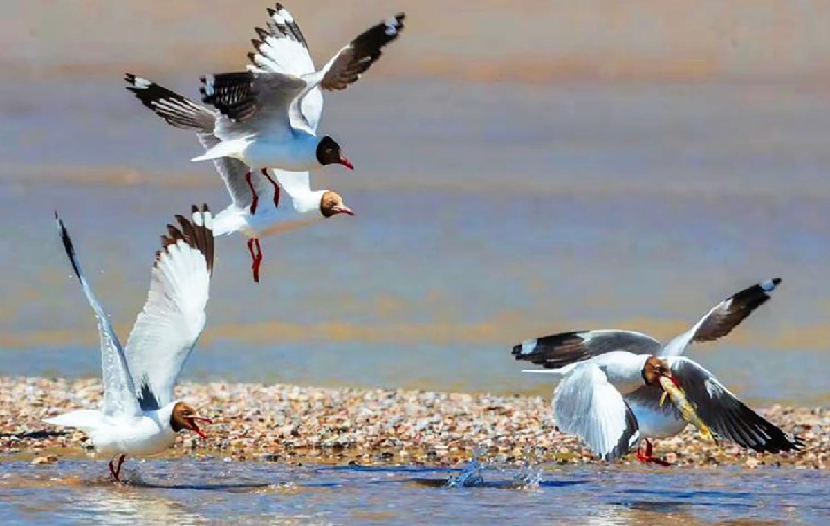 场面激烈 棕头鸥青海湖岸边 抢食湟鱼