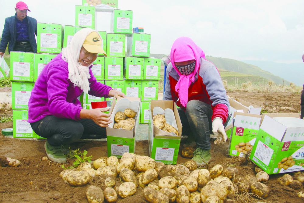 乐都区中岭乡马铃薯喜获丰收